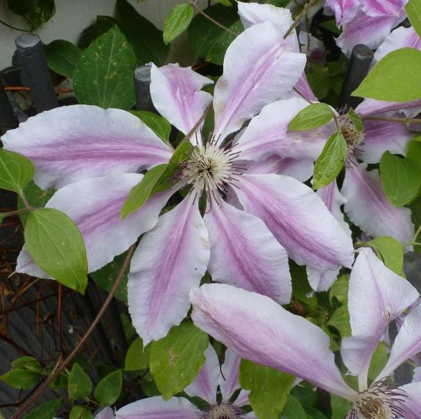 Hellblaue Clematisblüte