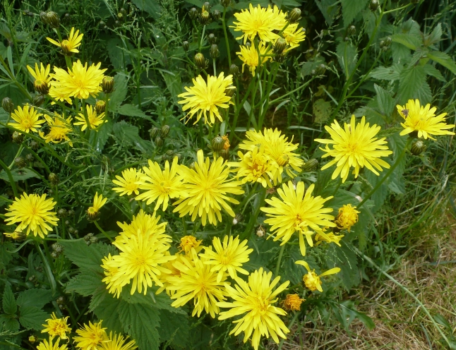 Gelbe Wildblumen am Wegesrand