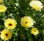 Gelbe Margeritenblüten