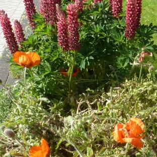 Lupinen-Mohnblüten
