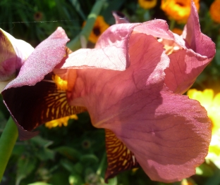 Lilienglüte wunderschön
