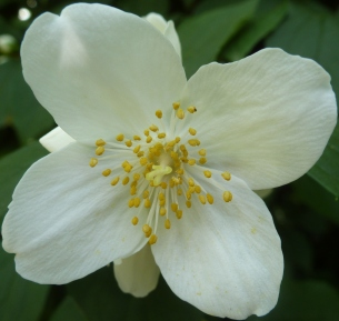 Clematisblüte