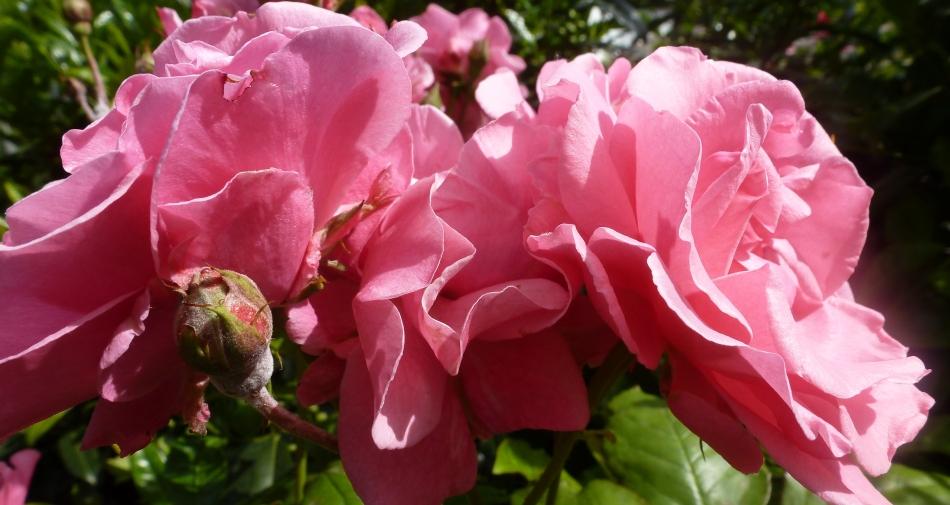 Zwillingsrosenblüten