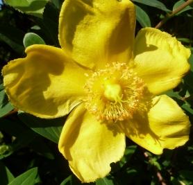 Gelbe Clematis