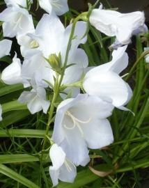 Weiße Glockenblume