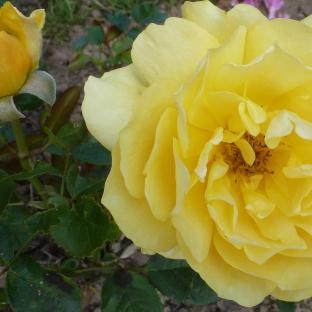 Gelbe Rose mit Knospe