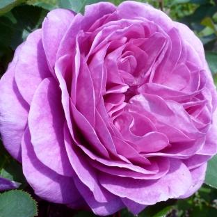 So eine Rose hab ich noch nie gesehen