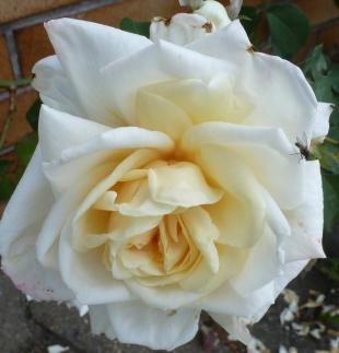 Fast ausgeblüht die weiße Rose