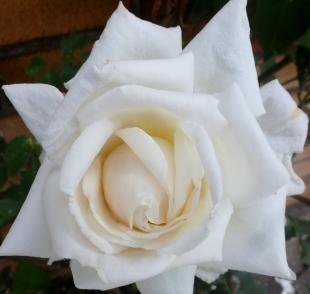 Die weiße Blüte in ganz ihrer Pracht
