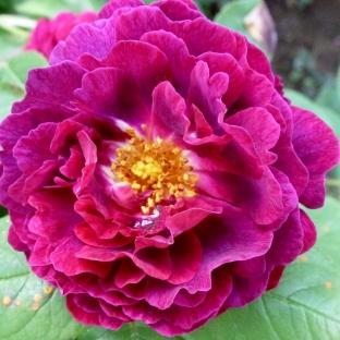 Eine weinrote Wildrosenblüte
