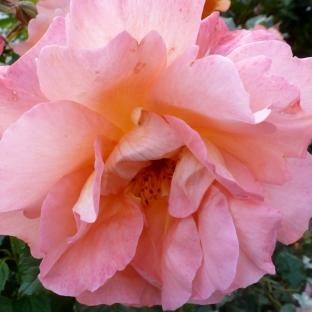 Eine rosane Rose