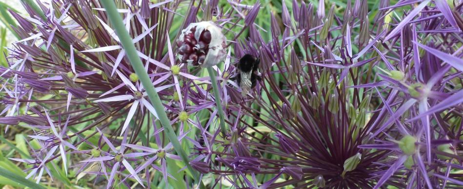 Distelblüten mit Biene