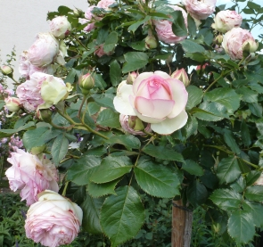 Der weiß rote Rosenbusch