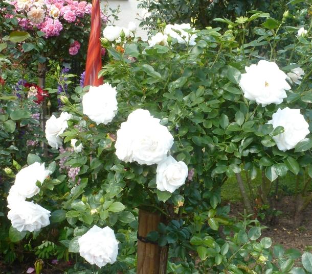 Weißer Rosenbusch