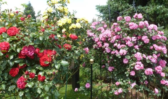 Rote Rosane Rosenbüsche