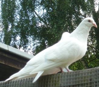 Das weiße Taubenpaar