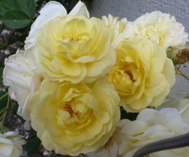Gelber Rosenbusch
