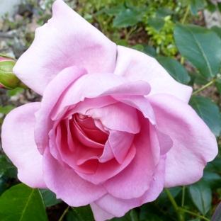 Die rosane Blüte