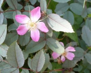 Kleine Buschwildrosenblüten