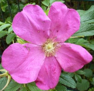 Rosane Wildrosenblüte