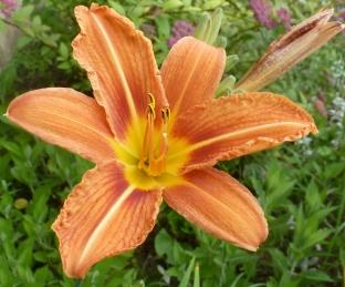 Orange Lilienblüte