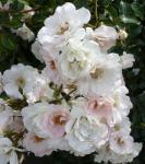 Rosa weißer Rosenbusch