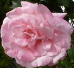 Rosane Rose ein Traum