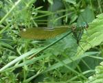 Wunderschöne Libelle