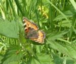 Schmetterling so ganz allein