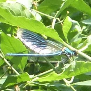 Hellblaue schwebende Libelle