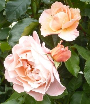 Die Rose aus dem Rosengarten