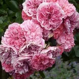 Die Rosane Rose wunderschön