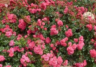 Der Rosane Rosenbusch traumhaft schön