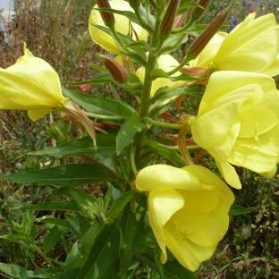 Die Gelbe Wildblüte