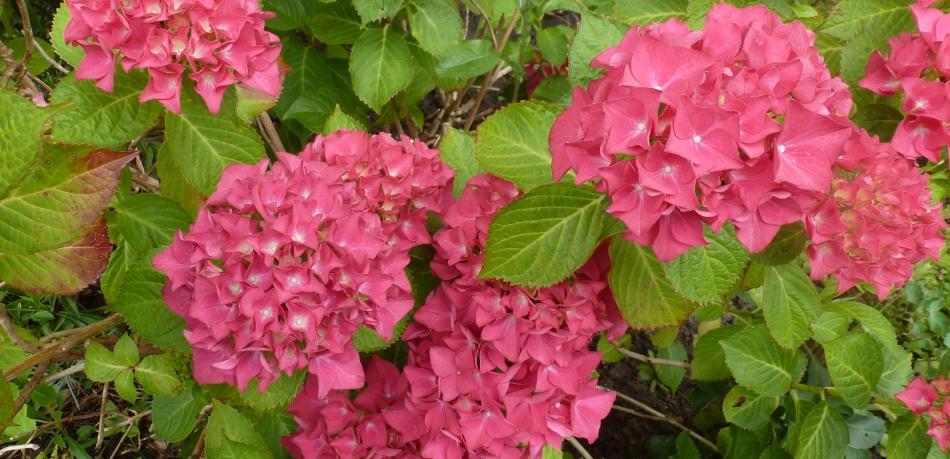 Wunderschöner Hortensienbusch