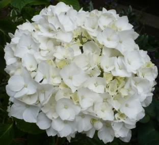 Weiße Hortensieblüte