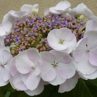 Hortensie in weiß-lila