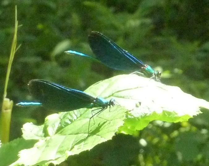2 Libellen beim Sonnenbad