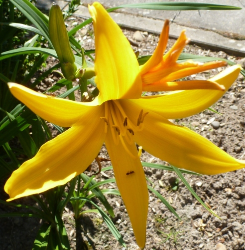 Gelbe Lilienblüte