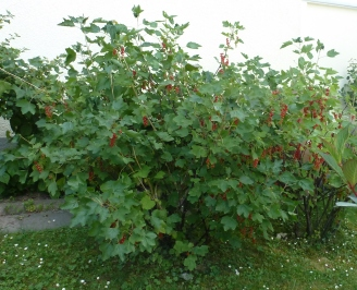 Roter Johannisbeerbusch