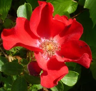 Rote Wildrosenblüte