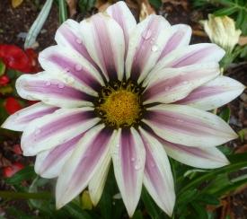 Margeritenblüte weiß lila