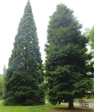 Mammutbaum und Weihrauchbaum