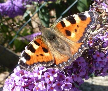 Schmetterling auf dem blauen Schmetterlingbusch