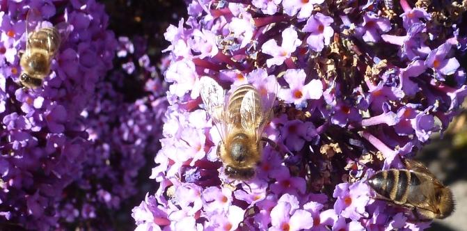 Bienen beim Nektar tanken