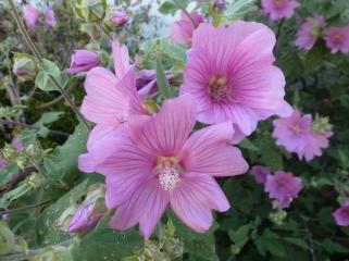 Rosane Malvenblüte
