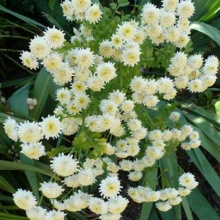 Weißer Blütenbusch