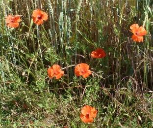 Mohnblüten am Kornfeldrand