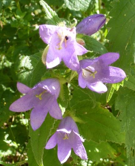 Wilde blaue Blüten