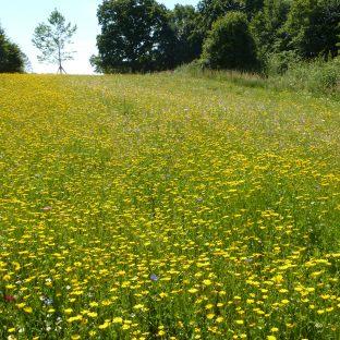 Das gelbe Blütenfeld am Golfplatz